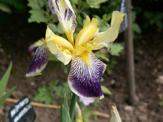 Floraison de nos iris barbus saison 2014 - Page 2 Iris_v12