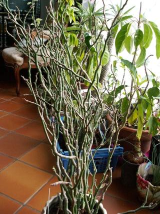 Euphorbia tithymaloides = Pedilanthus tithymaloides Pict0013