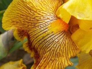 Floraison de nos iris barbus saison 2014 - Page 2 Pict0025
