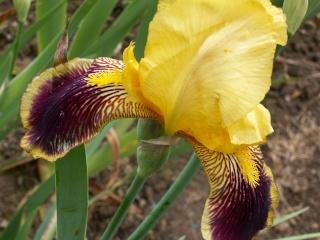 Floraison de nos iris barbus saison 2014 - Page 2 Pict0026