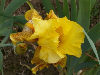 Floraison de nos iris barbus saison 2014 - Page 2 Pict0027