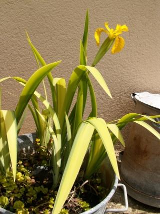 Floraison de nos iris barbus saison 2014 - Page 2 Pict0028