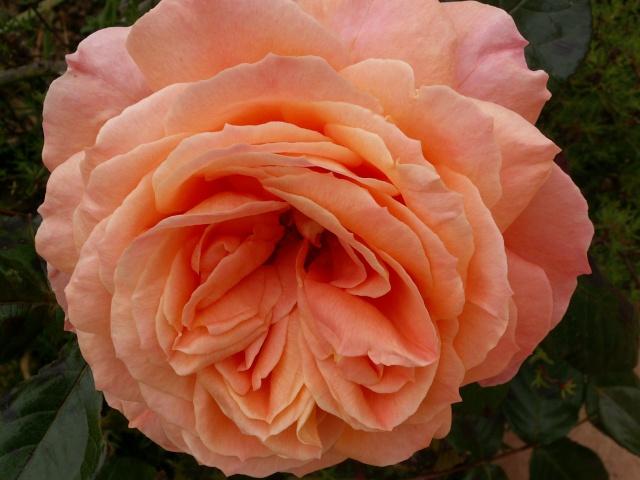 tous ces rosiers que l'on aime - floraisons - Page 2 Rosier10
