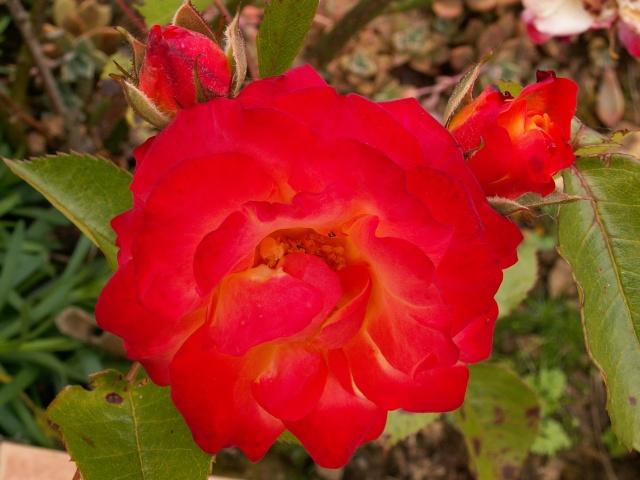 tous ces rosiers que l'on aime - floraisons - Page 2 Rosier11