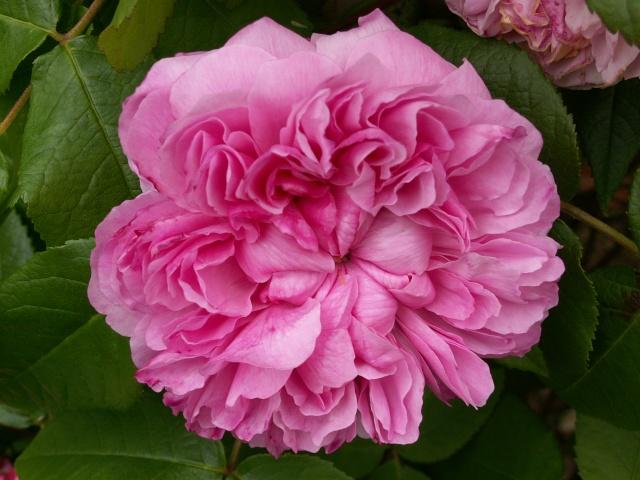 tous ces rosiers que l'on aime - floraisons - Page 2 Rosier12