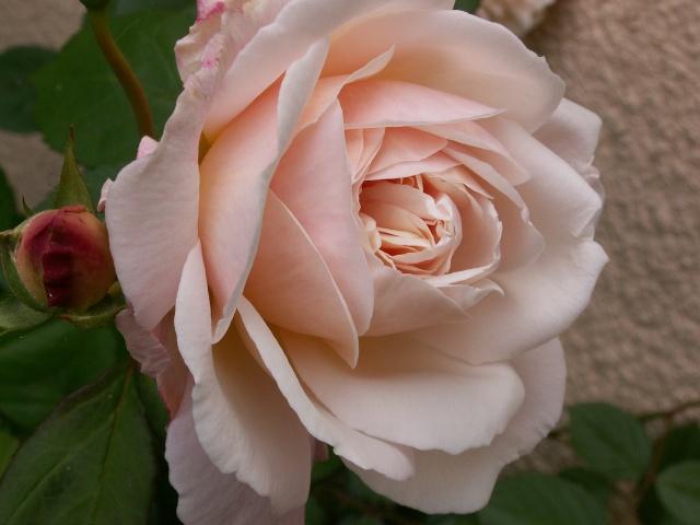 tous ces rosiers que l'on aime - floraisons - Page 2 Rosier13