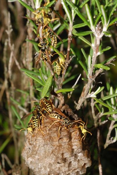 Trois nids de Poliste devant chez moi... Polist11