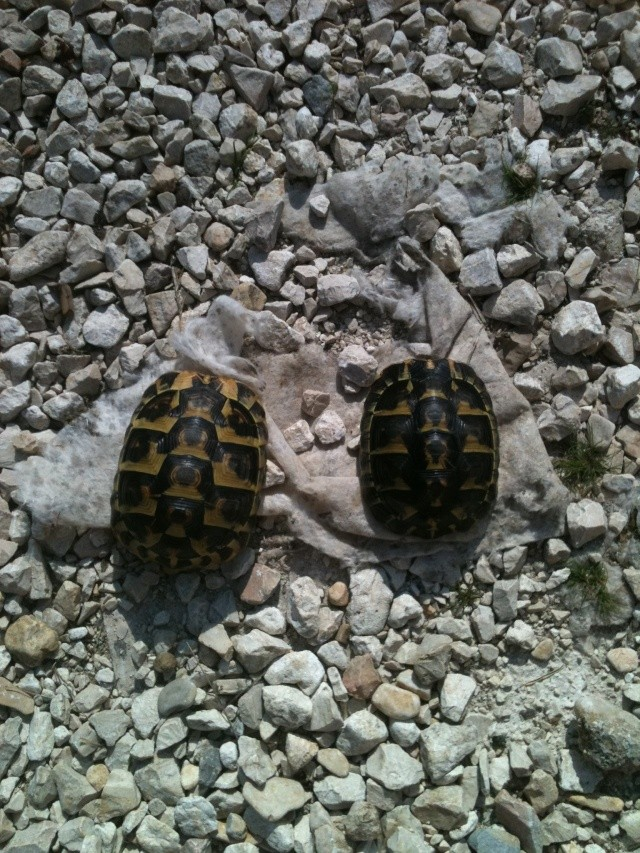 sexage de 2 tortues corses Img_2625