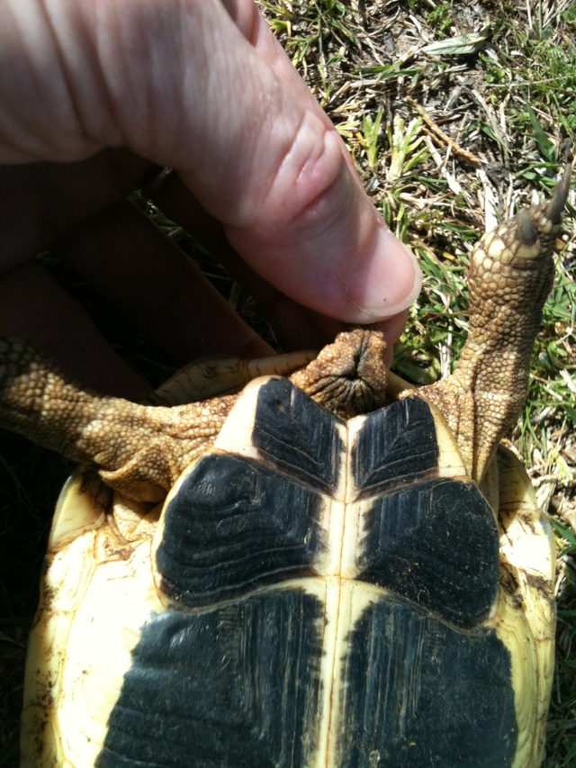 sexage de 2 tortues corses Img_2626
