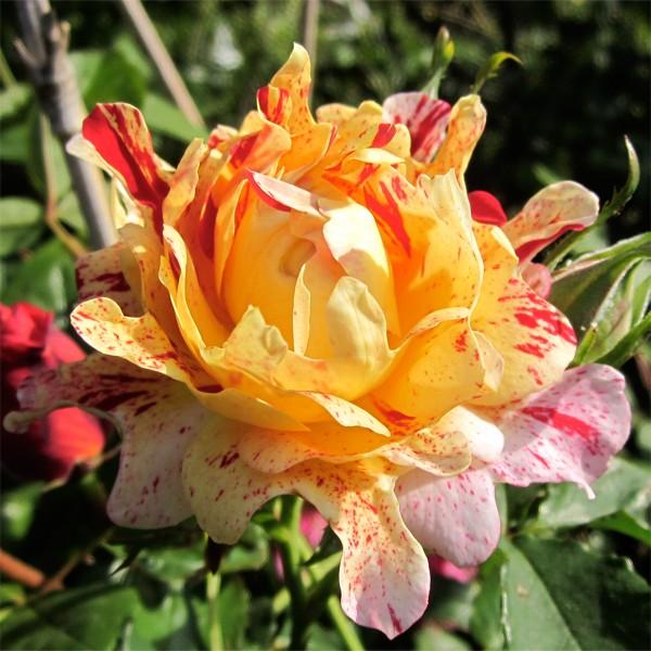rosier Nimet Nimet-10