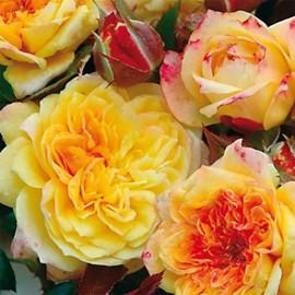 rosa Georges Denjean Rosa-r10