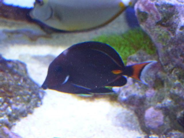 Aquarium recifal 1000L beber - Page 11 P1000731