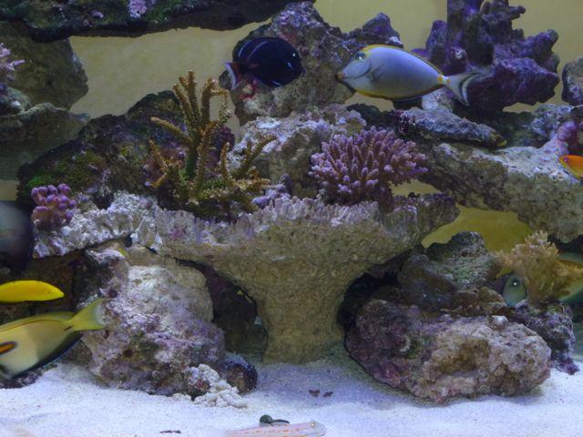 Aquarium recifal 1000L beber - Page 11 P1000742