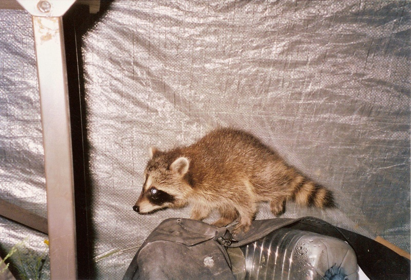Animaux Sauvages Coon10