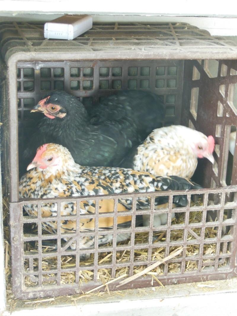 Introduction d'une nouvelle poule. Dscn5215