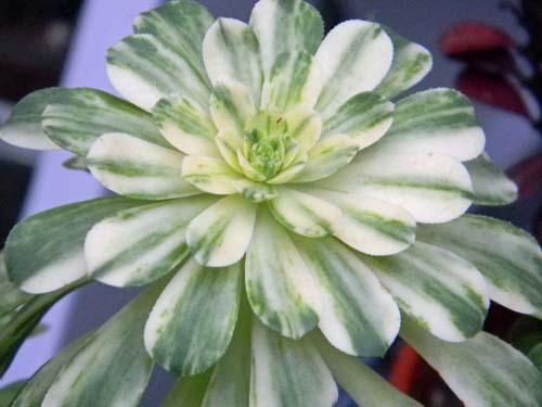 Aeonium 'Sunburst' Aeo111