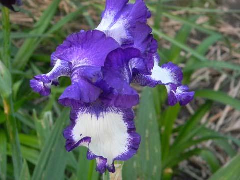 Floraison de nos iris barbus saison 2014 - Page 4 Barb110