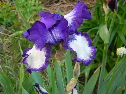 Floraison de nos iris barbus saison 2014 - Page 4 Barb210