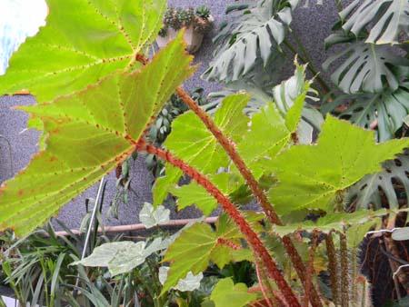 Begonia x ricinifolia  Bego410