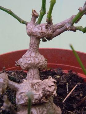 Euphorbia 'Frost Diamond' [devinette] Euph310