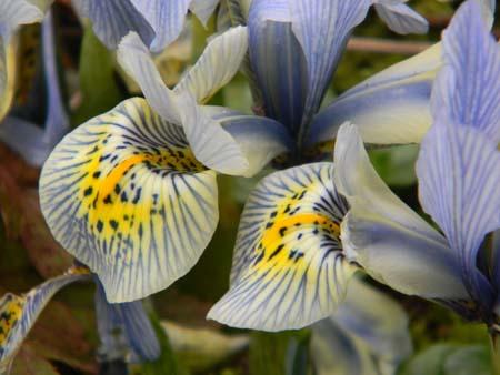 Iris winogradowii x histrioides 'Katharine Hodgkin'  Iris110