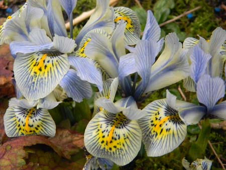 Iris winogradowii x histrioides 'Katharine Hodgkin'  Iris310