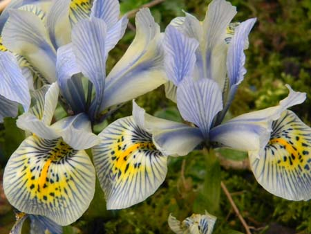 Iris winogradowii x histrioides 'Katharine Hodgkin'  Iris_410
