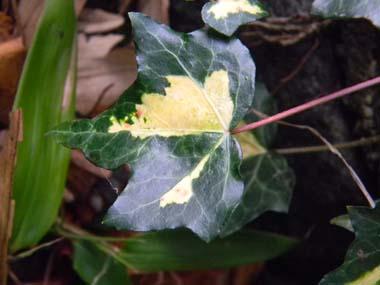 Hedera - lierre - espèces, hybrides horticoles - Page 2 Lierre17