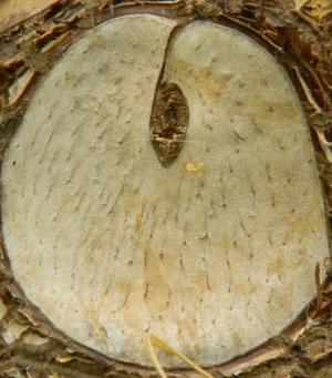Philodendron bipinnatifidum - selloum Ph110