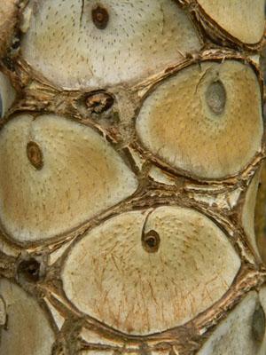 Philodendron bipinnatifidum - selloum Phil110