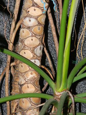 Philodendron bipinnatifidum - selloum Phil210