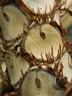 Philodendron bipinnatifidum - selloum Phil310