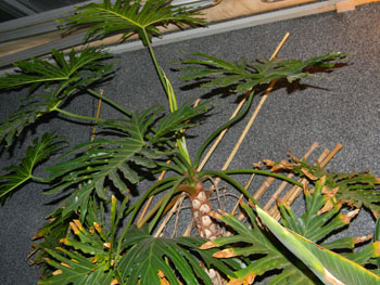 Philodendron bipinnatifidum - selloum Phil510