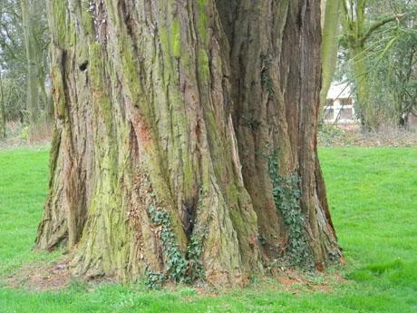 Sequoiadendron giganteum - séquoia géant - Page 2 Seq111