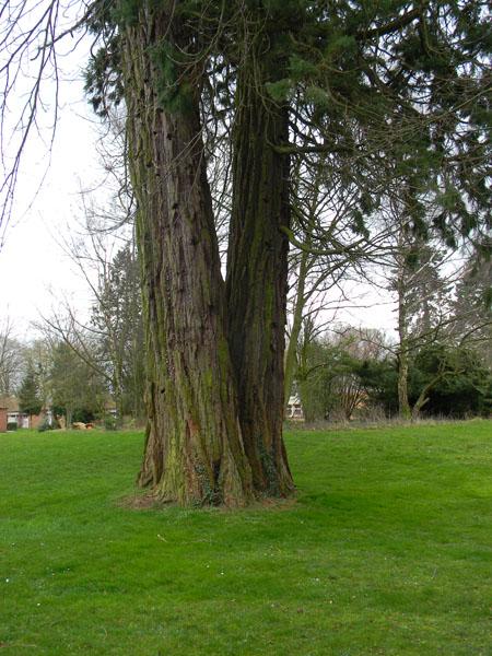 Sequoiadendron giganteum - séquoia géant - Page 2 Seq211