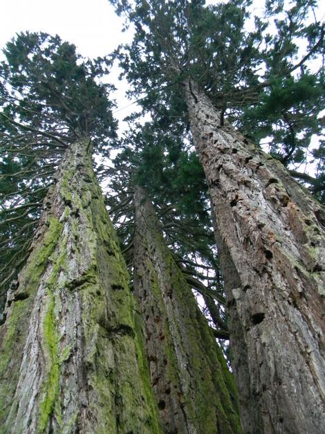 Sequoiadendron giganteum - séquoia géant - Page 2 Seq311