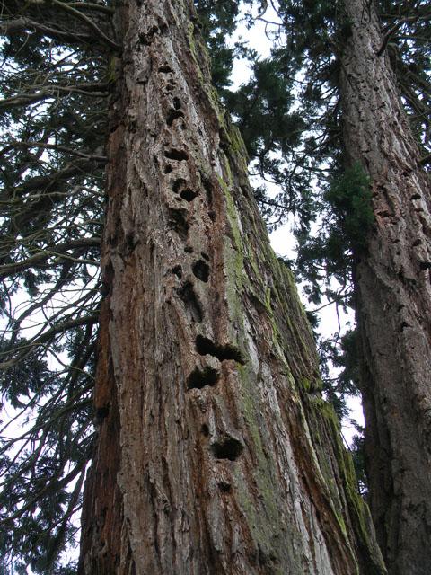 Sequoiadendron giganteum - séquoia géant - Page 2 Seq411