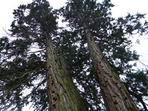Sequoiadendron giganteum - séquoia géant - Page 2 Seq710