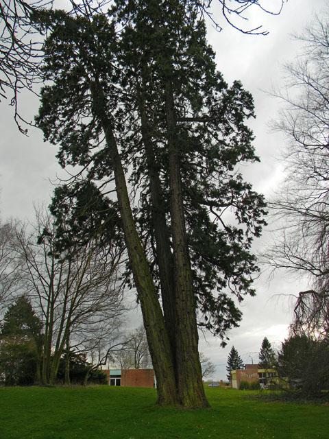 Sequoiadendron giganteum - séquoia géant - Page 2 Seq911