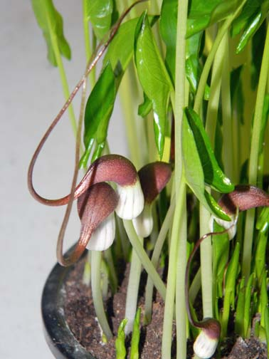 Arisarum vulgare - capuchon de moine Souris10