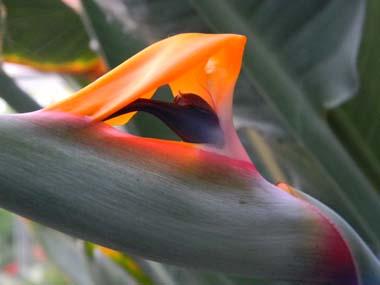 Strelitzia reginae  Str2110