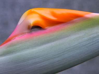 Strelitzia reginae  Stre210