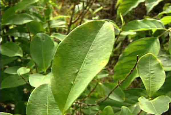 Les plantes. (Pour les soigneurs) Cocapl10