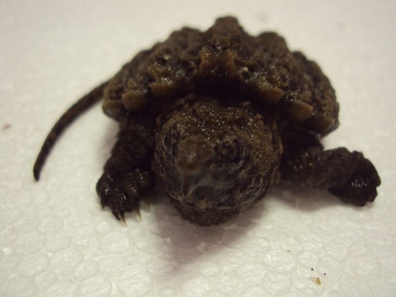 Présentation de ma Macrochelys temminckii (tortue alligator) - Page 2 Dsc05016