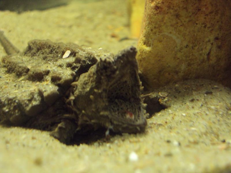 Présentation de ma Macrochelys temminckii (tortue alligator) - Page 3 Dsc05121