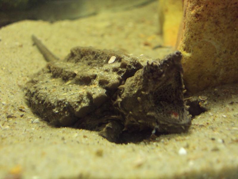 Présentation de ma Macrochelys temminckii (tortue alligator) - Page 3 Dsc05123