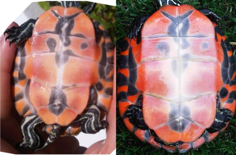 Pseudemys rubri. Evolution de la pigmentaion 9mois apres... Evolu111