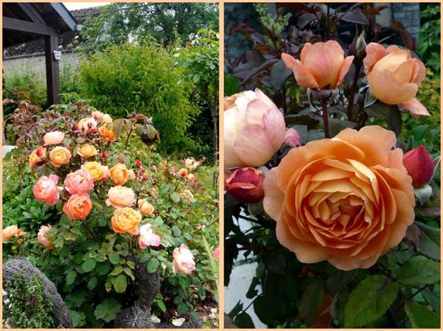 rosier lady emma hamilton 18593210
