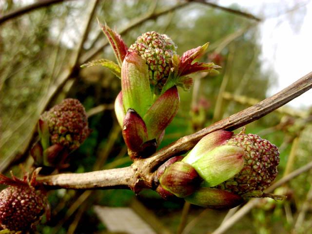 38 - Les bourgeons..... Photos reçues - Page 2 Dsc_0157