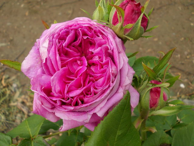 Rosa Yolande d'Aragon  Dscn8045